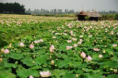 Lotus field. Siem Reap Cambodia Stock Images
