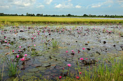 Lotus field Stock Photo