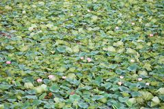 Lotus field Stock Photography