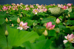 Lotus field Royalty Free Stock Photo