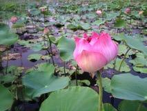 Lotus Field Royalty-vrije Stock Afbeeldingen