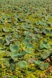 Lotus Field Immagine Stock Libera da Diritti