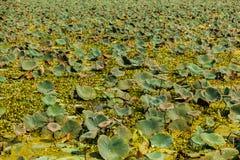 Lotus Field Lizenzfreie Stockfotos
