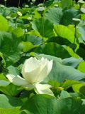 Lotus field. Field of lotus pods with a flower in the foreground Royalty Free Stock Images