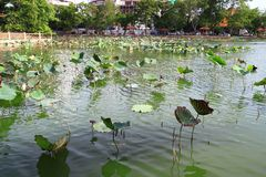 Lotus field in the lake Royalty Free Stock Photos