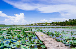 Lotus field Royalty Free Stock Photography