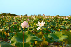 Lotus fields in Cambodia. In the early spring Stock Images