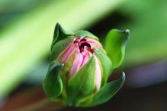Lotus fiorirà Immagini Stock Libere da Diritti