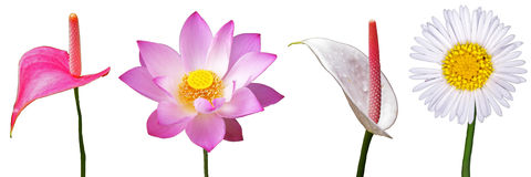Lotus and flamingo flowers isolation. Lotus and flamingo flowers are isolated on white background Royalty Free Stock Image