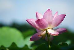Lotus fleurissant au ciel Images stock