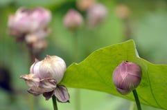 Lotus fleurissant et le lotus se sont fanés, le cycle de vie d'un lotus Photographie stock