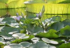 Lotus fleurit en serre chaude sur le fond de grands lis de Victoria Amazonian images libres de droits