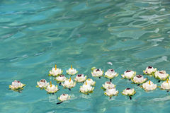 Lotus floating on water Stock Photos
