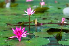 The lotus floats in the pool. A biennial plant with either a rhizome, a rhizome, or a single leaf, grows from the stopenem, with the petiole growing to the Stock Images