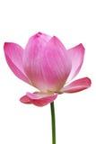 Lotus, flor cor-de-rosa do lírio de água (lótus) e fundo branco, trajetos de grampeamento Fotos de Stock