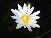 Lotus flora Arkivfoton