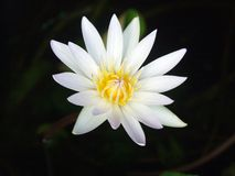 Lotus-flora stock foto's