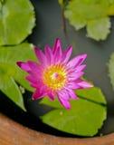Lotus floreciente Imagen de archivo