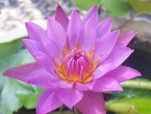 Lotus florescido bonito foto de stock royalty free