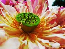 LotusFlowerThe Στοκ Εικόνες