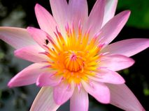 Lotus flower  01 Royalty Free Stock Photos