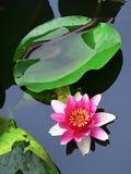 Lotus flower. Blossom lotus flower in japanese pond Stock Image