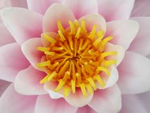 Lotus flower. Pink lotus flower - water lilly close up Royalty Free Stock Photo