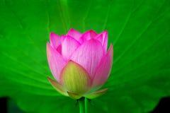 Lotus flower. The  lotus flower in full bloom Stock Image