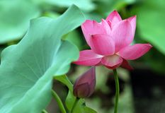 Lotus flower. The lotus pond bloom in summer royalty free stock photos