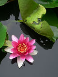 Lotus flower. Blossom lotus flower in pond Stock Photography