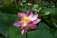 Lotus Flower. A pink Lotus Flower in the park Stock Images