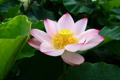 Lotus flower. A lotus flower was blooming in the middle of summer, Hunan, China Royalty Free Stock Photo