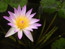 Lotus flower. Pink beautiful lotus flower in a pool Stock Image