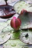 Lotus flower Royalty Free Stock Photo