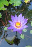 Lotus flower. In a pond in Thailand Stock Photography