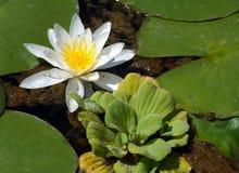 Lotus flower. White lotus flower Stock Image