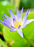 Lotus flower. The lotus flower in full bloom Royalty Free Stock Images