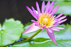 Lotus flower. A blooming lotus flower of pink color over green leafs on background Stock Photography