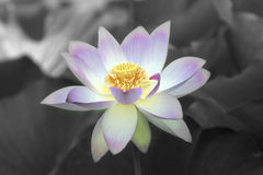 Lotus flower. Selective coloring of a Lotus flower Royalty Free Stock Images