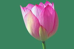Lotus flower. Isolated on a green  background Royalty Free Stock Image