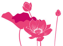 Lotus Flower. Drawing of lotus Flower in a white background Royalty Free Stock Photo