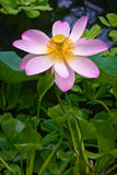 Lotus flower Royalty Free Stock Image