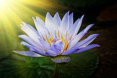 Free Lotus Flower Royalty Free Stock Photos - 19006608