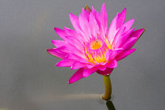 Lotus flower. The plant some lotus flower in Thailand, is one of the world stock photos