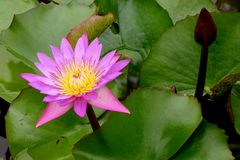 Lotus Flower. In Pond Royalty Free Stock Photo