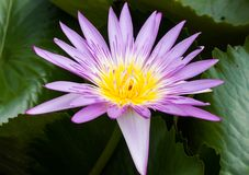 Lotus Flower. Lotus blossoms or water lily flowers blooming on pond Royalty Free Stock Image