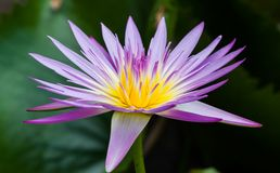 Lotus Flower. Lotus blossoms or water lily flowers blooming on pond Royalty Free Stock Photos