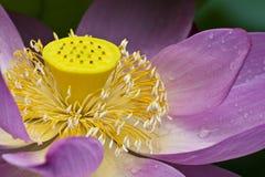 Lotus flower. Th detail A pink blooming lotus flower Royalty Free Stock Image