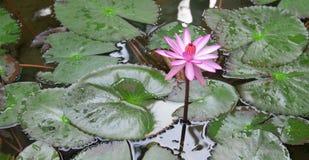 Lotus flower. In the pool Stock Image