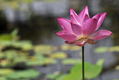 Lotus flower. A lotus flower in a pond royalty free stock images